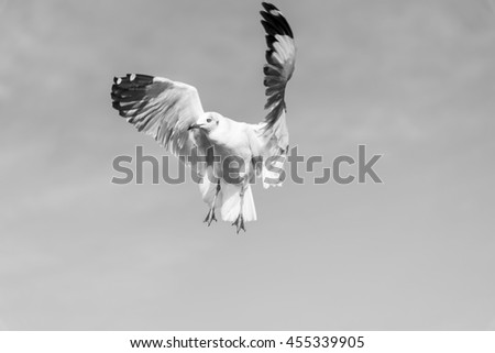 A Seagull Stops in the Air waiting for Food in Black and White Tone for BW Nature Background. - stock photo