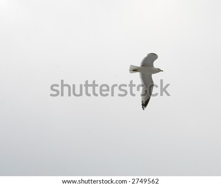 A seagull with its wings spread in flight on an overcast day. - stock photo