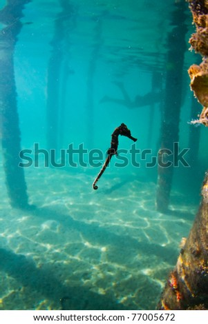 A seahorse hovering mid water - stock photo