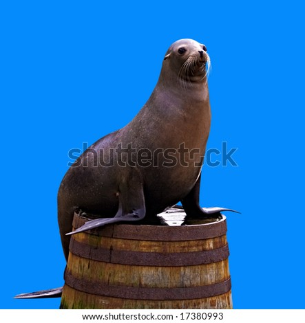A seal lion on half a barrel isolated on blue. - stock photo