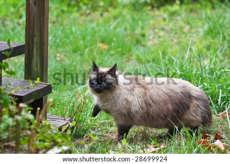 A seal point cat walks across the yard. - stock photo