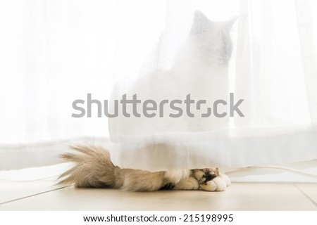 A seal tortie point Birman female cat in observation behind curtains of the windows. Color image portrait of purebred cat. Seven months old. - stock photo