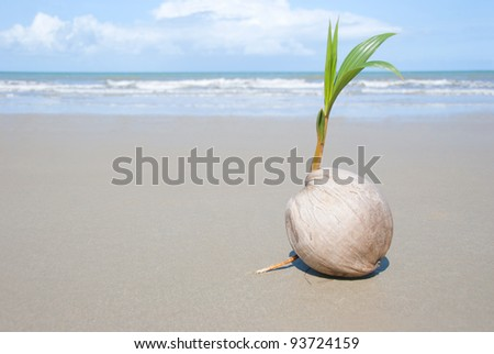 A seed of a palm tree ( coconut ) growing on beautiful beach. There are some roots visible as well as the ocean and  lots of copy space too.