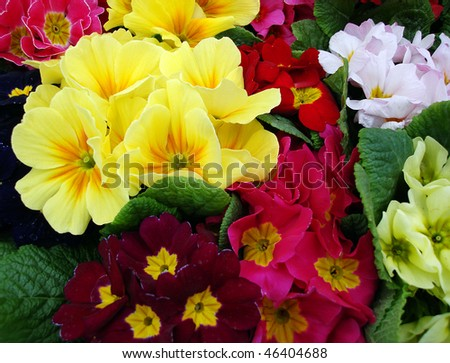 A selection of primroses at a flower market