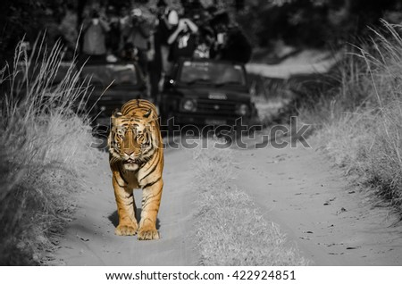 A Selective coulour image of a Male Bengal Tiger marking his territory.Image taken during a tiger safari at Bandhavgarh national park in Madhya Pradesh in India.Scientific name- Panthera Tigris - stock photo