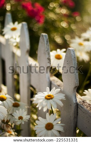 A selective focus view of daisies in front of a lone fence post. - stock photo