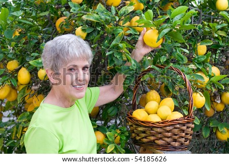 A senior adult woman is picking lemons and placing them in her wicker basket.