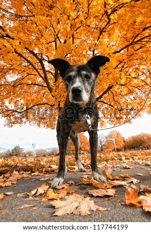 a senior pit bull in a park during fall - stock photo