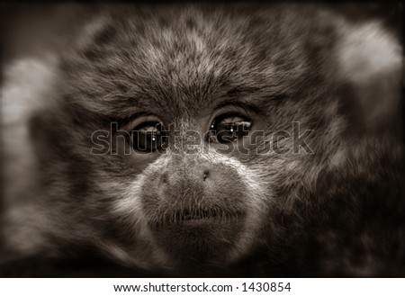 A sepia-toned photo of a Reed's Titi Monkey Baby. This baby monkey had the most wise and knowing eyes. - stock photo