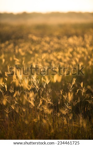 A serene scene of field of golden wild grass at late sunset in the Kruger National Park, South Africa. - stock photo