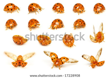 A series of ladybirds isolated on white background. - stock photo