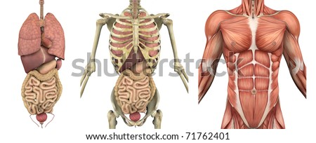 A series of overlays depicting the internal organs, skeleton and muscles. These images will line up exactly, and can be used to study anatomy. They can also be used to create your own illustrations.