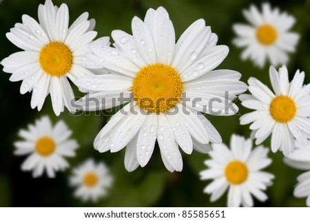 A series of perfect daisies, still wet with morning dew - stock photo
