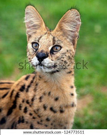 A serval cat focuses attentively with its eyes and ears. - stock photo