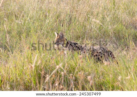 A serval, Leptailurus serval, in the savannah of Serengeti National Park, Tanzania. This medium-sized African wild cat is an elusive nocturnal predator - stock photo