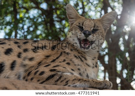 A  serval smiling with a sunburst in the top right