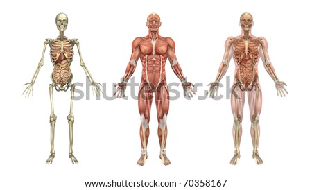 A set of anatomical overlays depicting the internal organs - these images will line up exactly, and can be used to study anatomy - 3D render. They can also be used to create your own illustrations. - stock photo