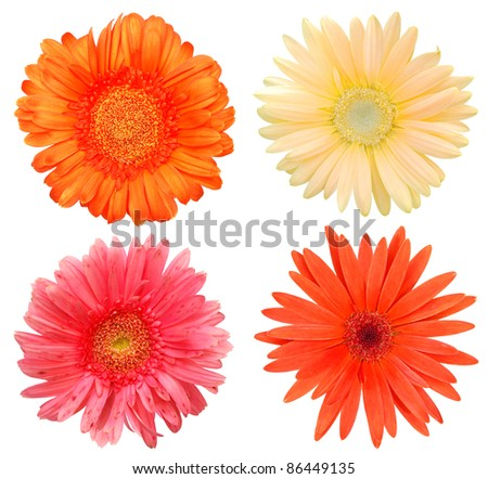 A set of gerber daisies