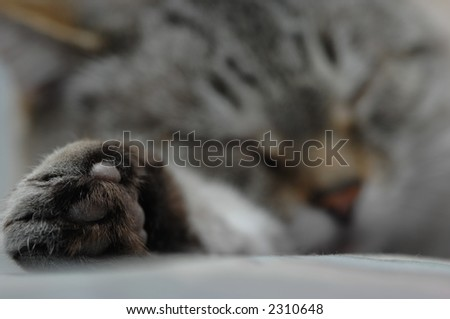 A shallow depth of field highlights the paw of a sleeping, happy cat. - stock photo