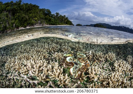 A shallow reef is home to a young giant clam (Tridacna squamosa) in Raja Ampat, Indonesia. This region is known as the heart of the Coral Triangle and offers beautiful diving and snorkeling. - stock photo