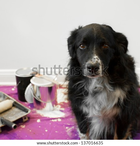 a shame faced dog at the scene of a messy painting project - stock photo