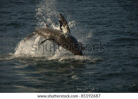 A shark breaching for it's prey, South Africa