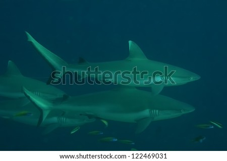 A Shark jaws and eye close up underwater looking at you ready to attack - stock photo