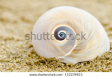 A Shark's Eye or Moon shell on a sandy beach - stock photo