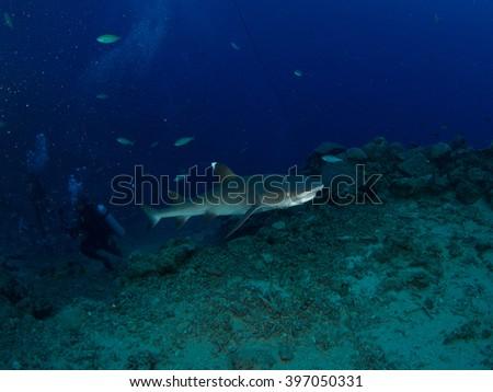 A shark swims around in Fiji's bega lagoon - stock photo