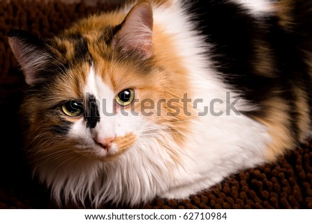 A sharp, detailed closeup of a beautiful female calico cat looking at you. - stock photo