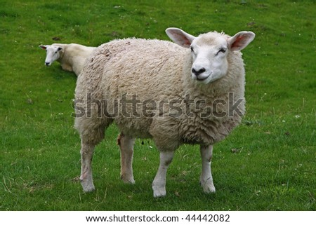 A Sheep - stock photo
