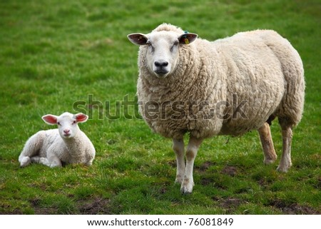 A sheep and a lamb - stock photo