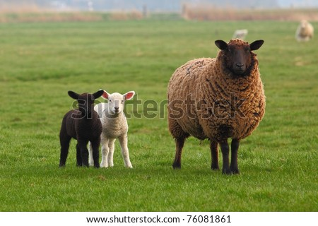 A sheep and a white lamb and a black lamb - stock photo