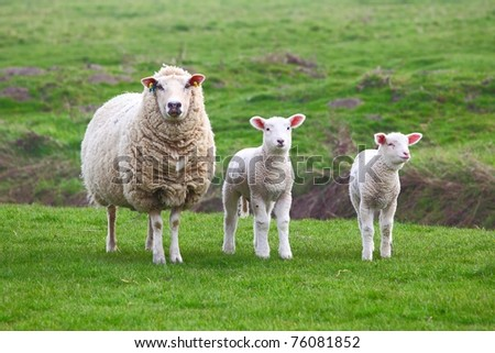 A sheep and two lamb - stock photo