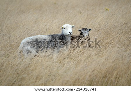 A Sheep Grazing the South Downs - stock photo