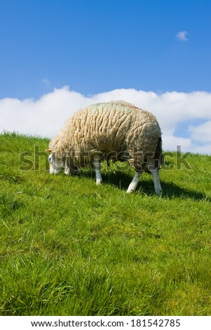 A sheep in a pasture of green grass   - stock photo