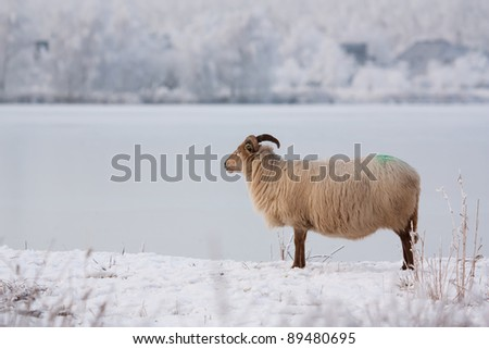 A sheep in a winter landscape - stock photo