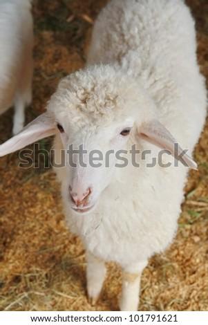 a sheep in farm - stock photo