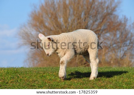 A sheep is on a lawn