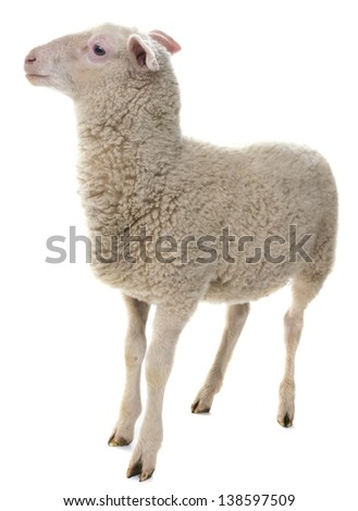 a sheep isolated on a white background - stock photo