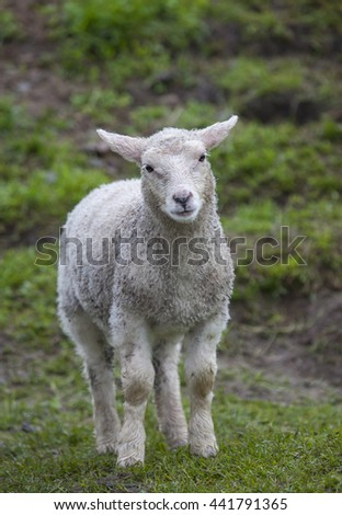 A sheep lamb in a pasture of green grass in Northern Norway. - stock photo