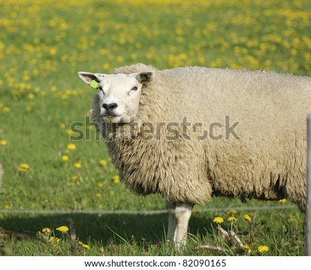A sheep looking at a camera - stock photo