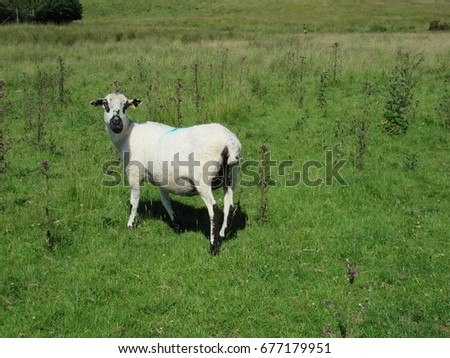 A sheep looking towards the camera in a field in England