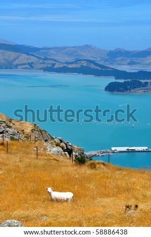 A sheep near Christchurch. South Island, New Zealand - stock photo