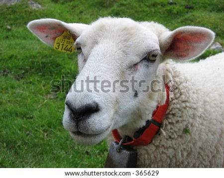 A sheep's head - stock photo