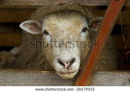a sheep's head poking through a sodden gate, looking ahead - stock photo