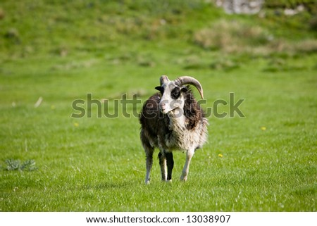 A sheep with horns in a green pasture