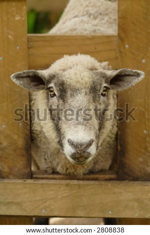 A sheep with its head through a wooden fence, almost as though framed like a picture - stock photo