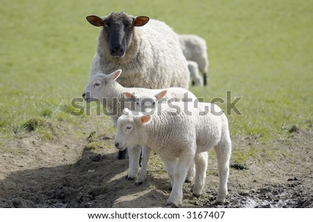 A sheep with  new born lambs in a field in the UK