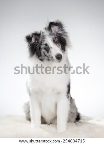A sheltie portrait. Image taken in a studio - stock photo